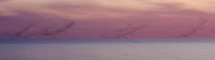 Abstract Birds in Flight Panoramic