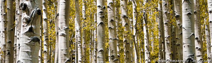 Autumn Aspen Grove Panoramic