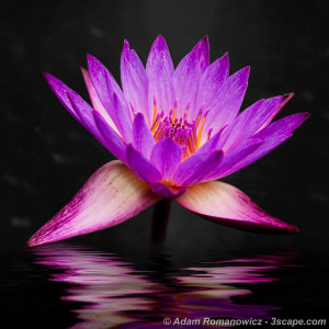 Purple Lotus Flower Macro