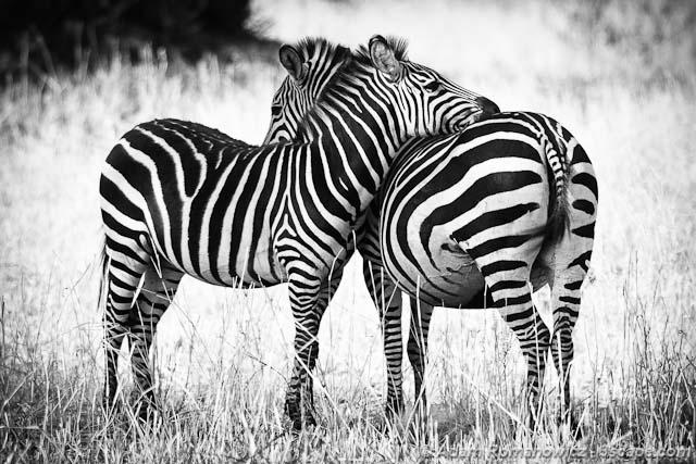 Cuddling Zebras - Tanzania, Africa