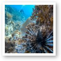 Invasive Lionfish in Caribbean waters