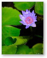 Lotus Flower and Lily Pad