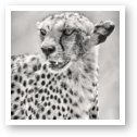Cheetah Black and White