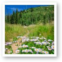 Wildflowers along Burro Pass Trail