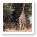Giraffe munching on some leaves