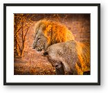 Buy Print of Mom and Dad lions cuddling