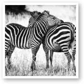 Buy Print of Zebra Love
