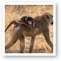 Baby baboon riding piggyback with mom