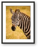 Buy Print of Common Zebra