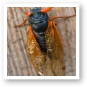 Adult male cicadas start singing to attract mates