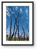 Buy Print of Burned trees near Dewey Bridge