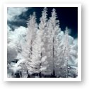 Four Tropical Pines Infrared