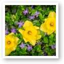 Three Daffodils in Blooming Periwinkle