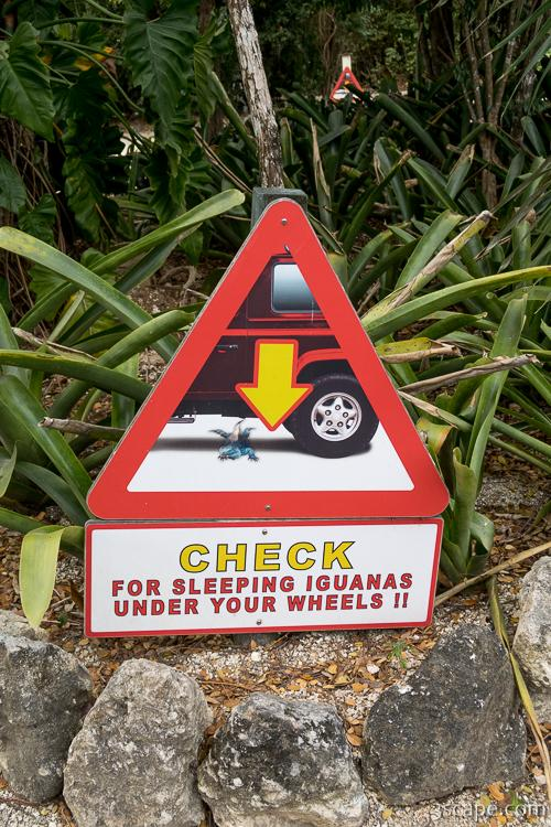 Check for sleeping iguanas under your wheels