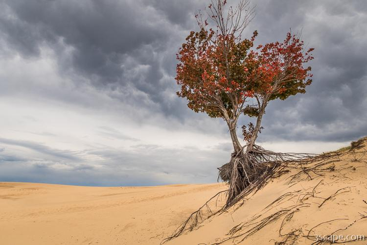 Lonely Tree at Silver Lake Sand Dunes