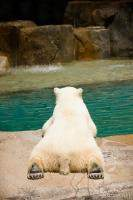 Polar bear laying by water