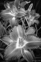Day Lilies in Black and White