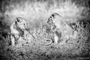 Little Lion Cub Brothers