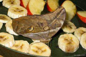 Butterfly on banana