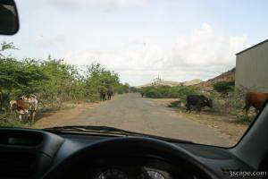 Cows on the road (near Turtle Beach)