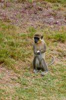 African Green Vervet Monkey