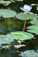 Lily pad and flower (Chankanaab Nature Park)