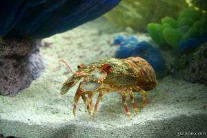Spanish (Slipper) Lobster