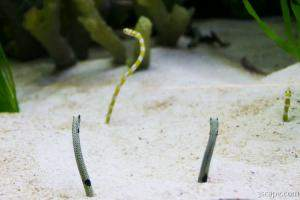 These worm looking fish burrow into the sand backwards.