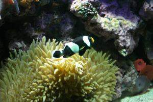 Clown fish and anemonie
