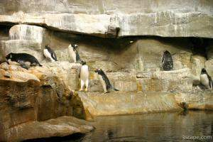 Active Gentoo Penguins