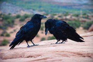Common Northern Ravens