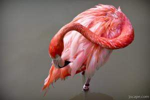 A Flamingo cleaning itself