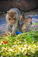 Monkeys having a feast