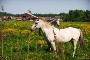 Horses on the outskirts of Brugge