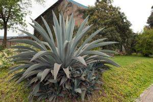 Huge cactus type plant in Arusha town