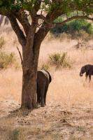 Elephant scratching its rear on a tree