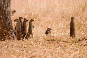 A group of banded mongoose all popped up at the same time to che