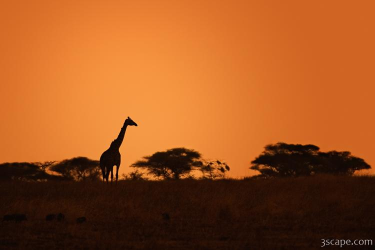 Giraffe in the hazy sunset