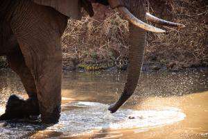 Elephant with Nile Monitor on the water bank