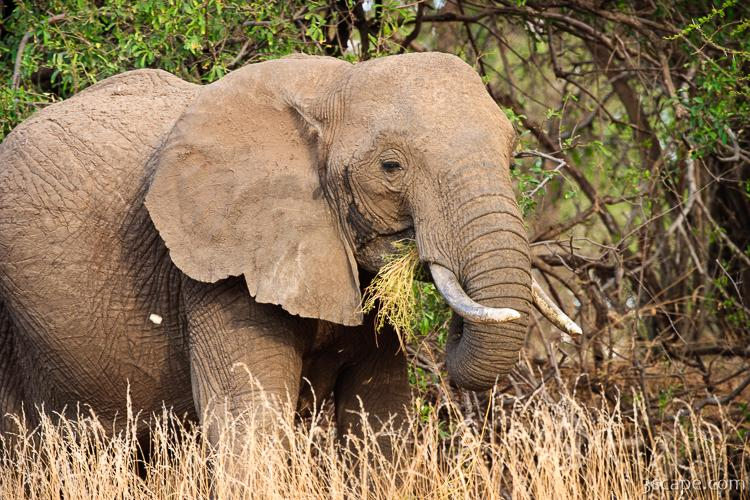 Elephant Eating Grass Photograph Fine Art Prints By Adam