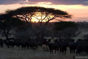 Herd of buffalo at sunset by an acacia tree
