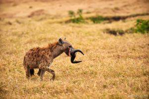 A spotted hyena carrying off wildebeest horns