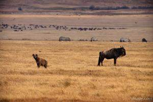 Hyena and Wildebeest, living side by side