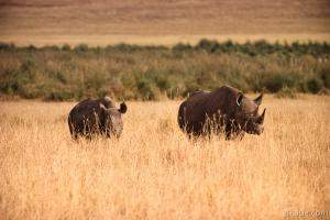 Black Rhinoceros with baby