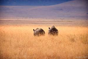 Black rhinos walking away
