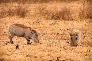 Warthogs searching for food