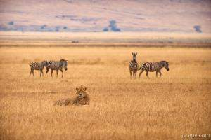 Zebras sneaking past a lion