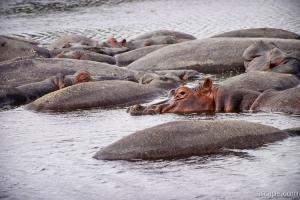 A pile of hippos resting in the cool water