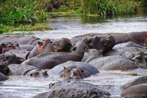 These hippos were laying all over each other