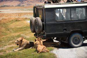 A pride of lions and cubs resting in the shade of the vehicle